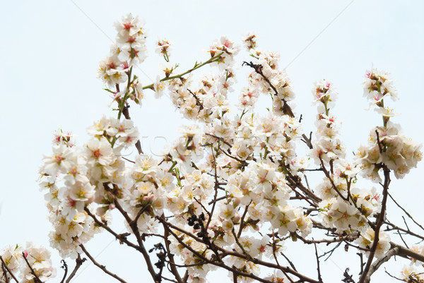 Almond tree pink flowers. Stock photo © vapi