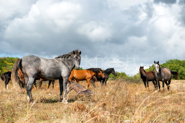 Herd of horses on the field Stock photo © vapi