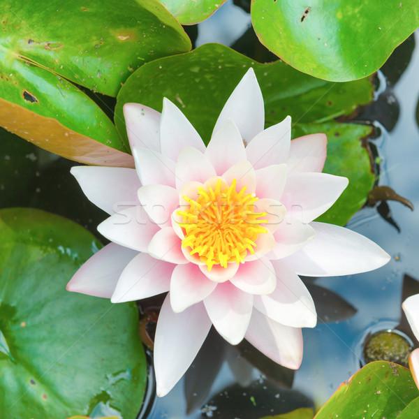 White flower- water lilly Stock photo © vapi