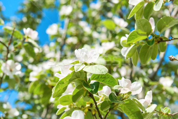 Blossom quince tree with white flowers Stock photo © vapi