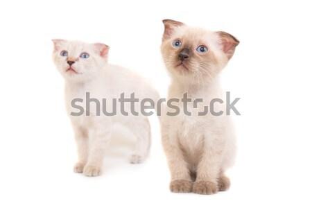 Two sitting purebred kittens Stock photo © vapi
