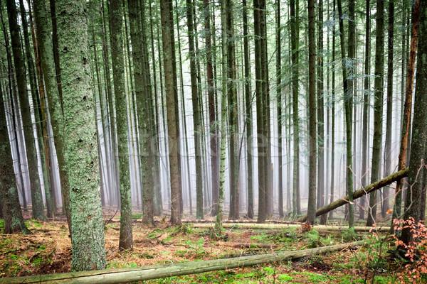 Tajemniczy przeciwmgielne zielone lasu sosny drzew Zdjęcia stock © vapi
