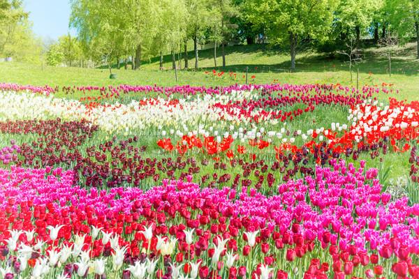 フィールド チューリップ 公園 多くの カラフル 花 ストックフォト © vapi