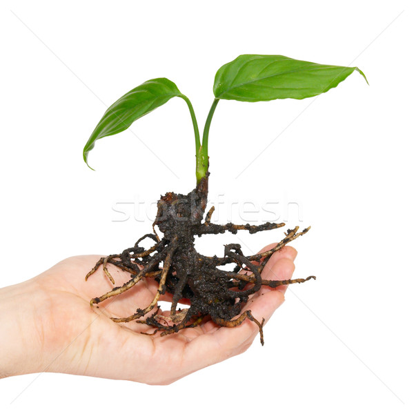 Young green plant in hand isolated on white. Stock photo © vapi