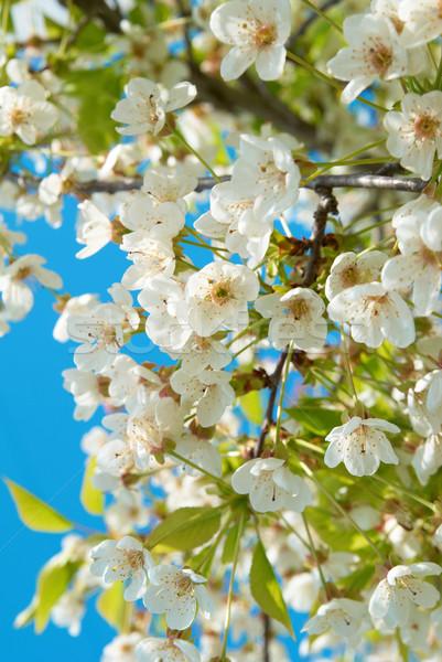 Fehér cseresznye virágok kék ég virág fa Stock fotó © vapi