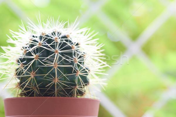 Zöld kaktusz ablakpárkány fény puha virág Stock fotó © vapi