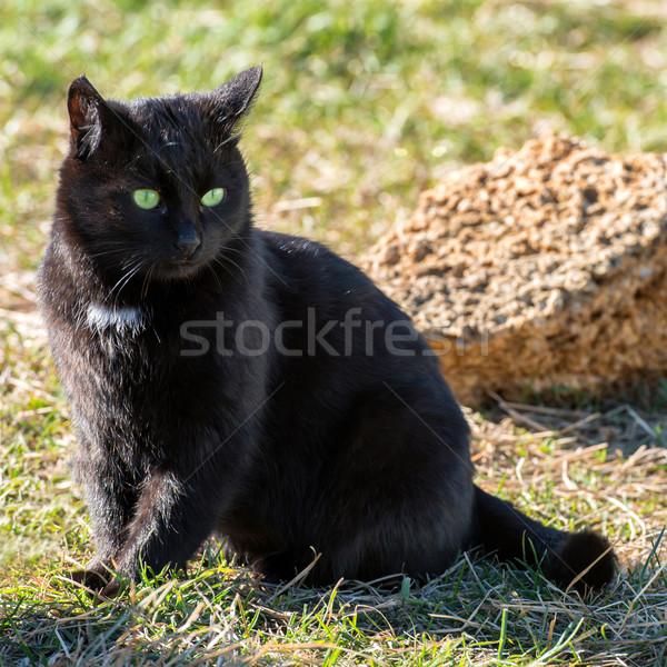 黒猫 黄色 目 座って 緑の草 猫 ストックフォト © vapi