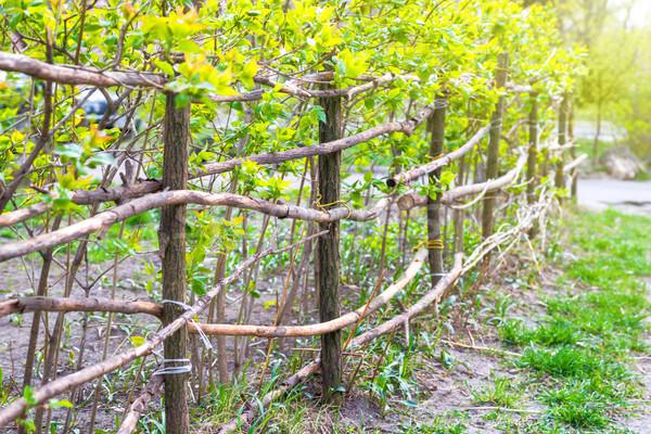農村 フェンス 緑 新鮮な 植物 木材 ストックフォト © vapi