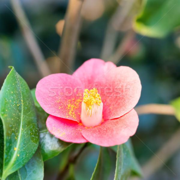 Vermelho flores da primavera azaléa jardim macro tiro Foto stock © vapi