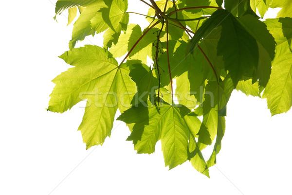 зеленый каштан листьев Солнечный Blue Sky дерево Сток-фото © vapi