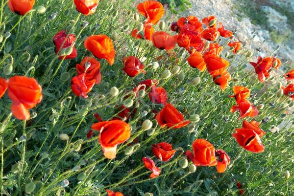 Bereich Mohnblumen schönen rot grünen Gras Blume Stock foto © vapi