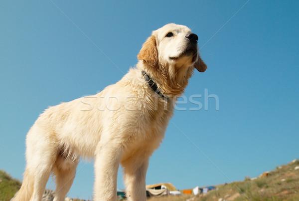 Stockfoto: Golden · retriever · kust · hond · gezicht · Blauw · goud