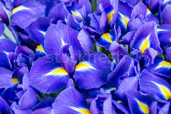 синий цветок природы весны Солнечный мягкой Focus Сток-фото © vapi