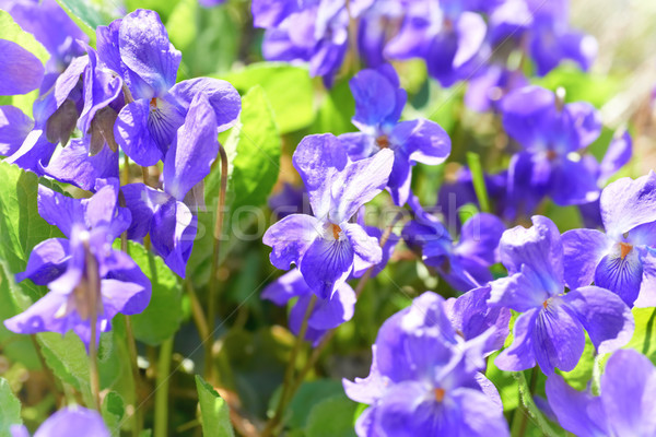 Viola flowers Stock photo © vapi