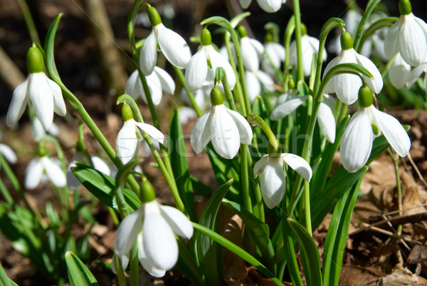 Spring snowdrop flowers Stock photo © vapi