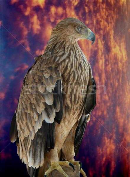 A hawk eagle sitting on the tree. Stock photo © vapi