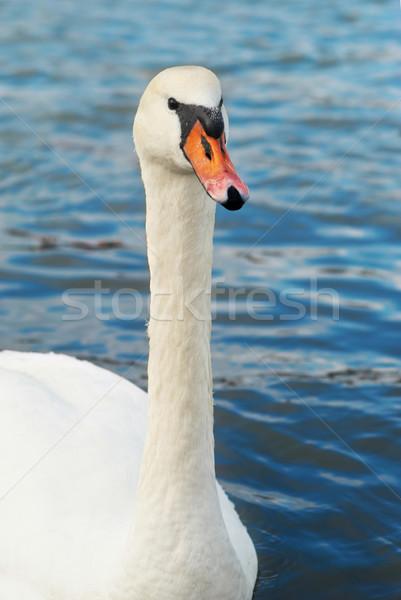 Mooie witte zwaan water familie liefde Stockfoto © vapi