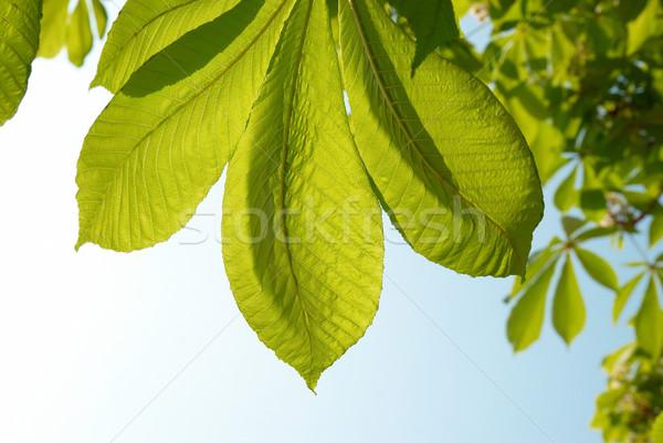 Feuilles vertes châtaigne vert laisse ensoleillée ciel bleu Photo stock © vapi
