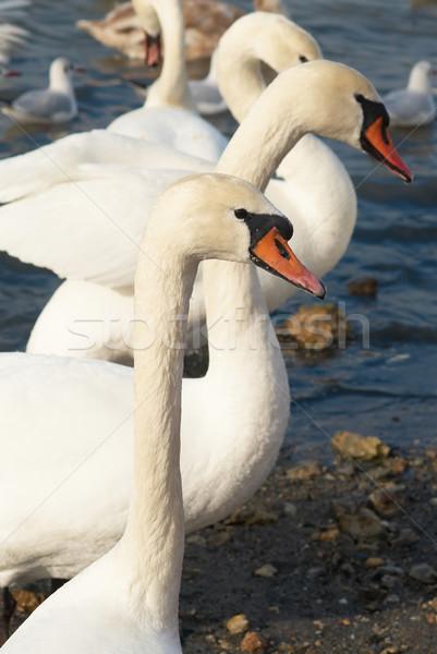 белый воды семьи свадьба любви птица Сток-фото © vapi
