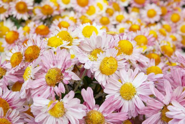 Foto stock: Campo · rosa · crisantemo · flor · primavera · naturaleza