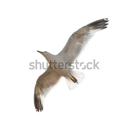 Repülés sirály izolált fehér tenger madár Stock fotó © vapi