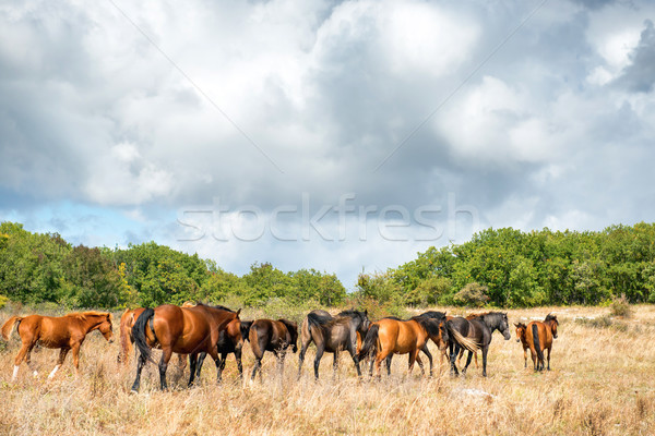Stock photo: Herd of horses on the field