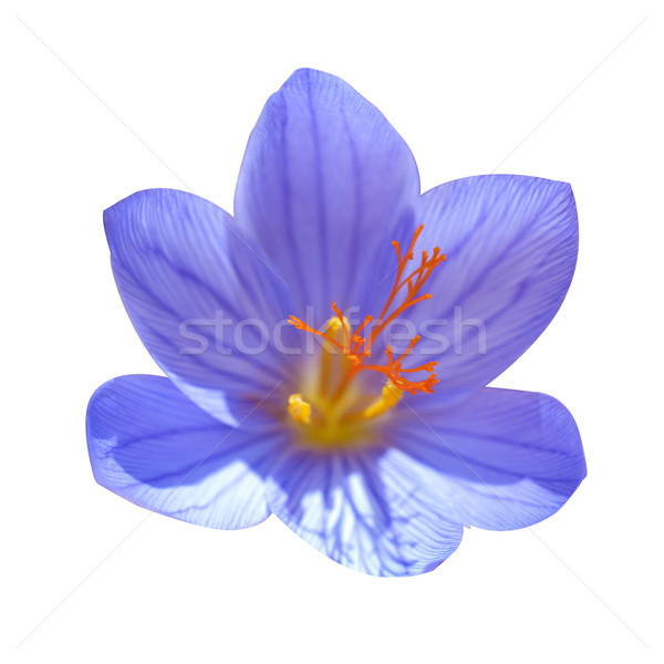 Crocus ligusticus Stock photo © vapi