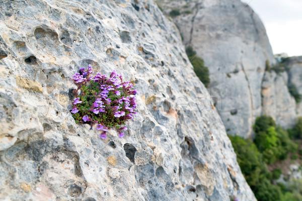 Mor çiçekler büyümek kaya küçük çatlamak Stok fotoğraf © vapi