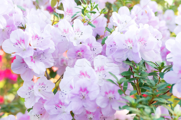 Stock photo: Pink spring flowers azalea