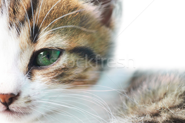 Peu kitty gris chat yeux verts isolé Photo stock © vapi