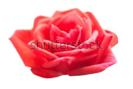 Red rose- romantic flower Stock photo © vapi