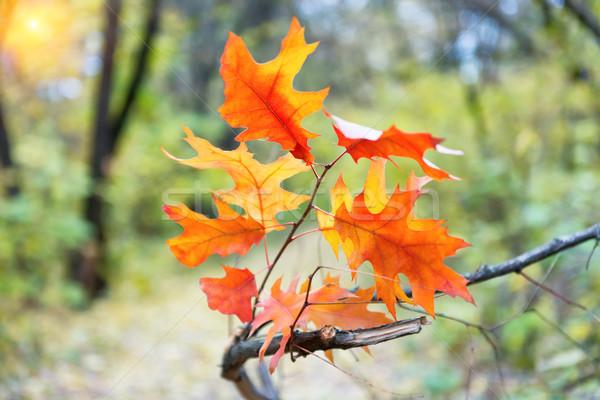 Rama roble rojo hojas naranja hojas de otoño Foto stock © vapi
