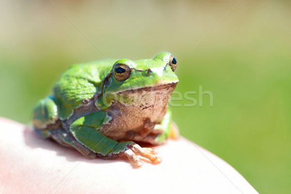 Green frog Stock photo © vapi