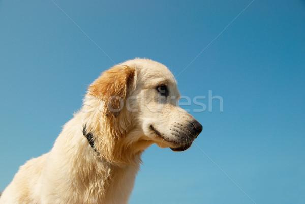 Golden retriever yalıtılmış mavi köpek yüz altın Stok fotoğraf © vapi