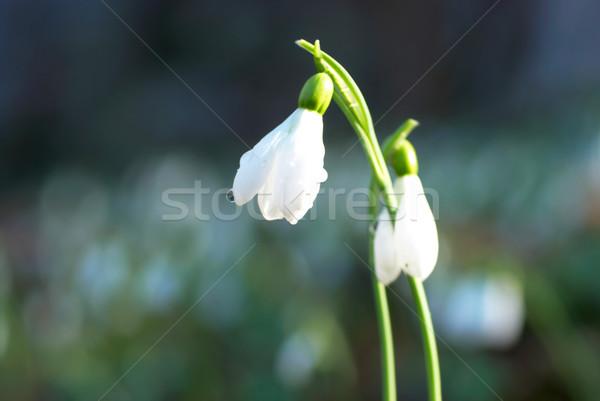 Tavasz fehér virág puha virág nap fény Stock fotó © vapi