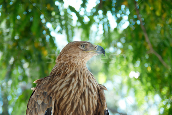A hawk eagle sitting on the tree. Stock photo © vapi