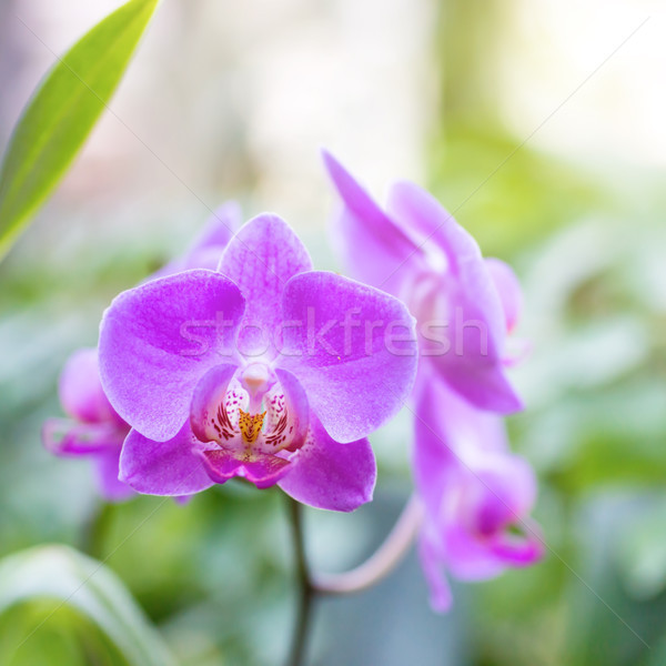 Purple orchids in a tropical forest Stock photo © vapi