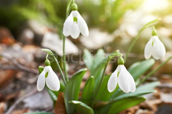 Ilk bahar çiçekleri orman çiçek bahar çim Stok fotoğraf © vapi