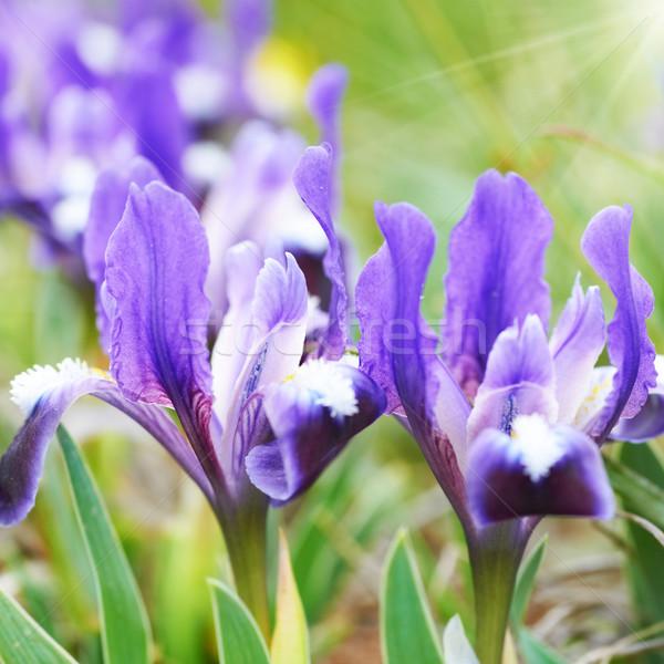 Flowerbed of purple irises Stock photo © vapi