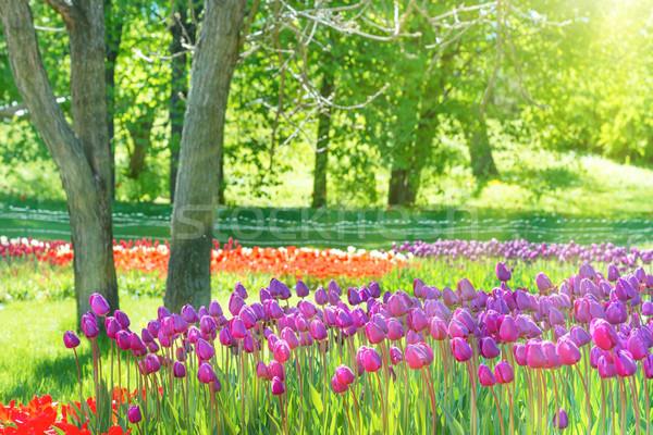 Alan çok lale yeşil park Stok fotoğraf © vapi