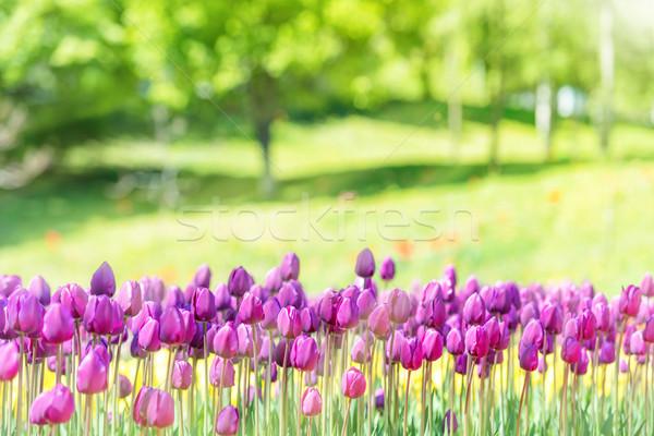 Stock fotó: Mező · sok · orgona · tulipánok · park · zöld