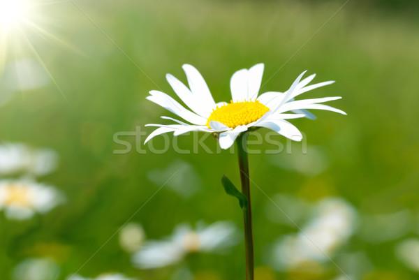 Camomila campo grama verde flor primavera projeto Foto stock © vapi