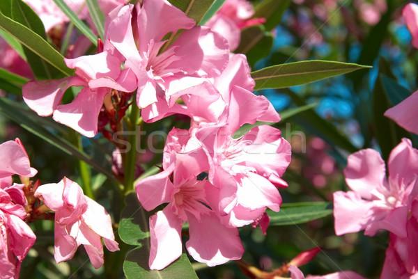 Pink flower's branch Stock photo © vapi