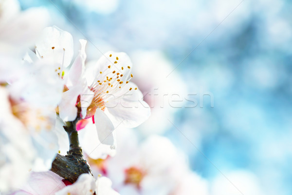 White flowers on plum tree Stock photo © vapi