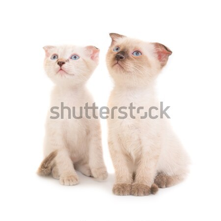 Purebred sphinx cat lying with kittens Stock photo © vapi