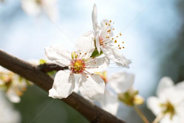 Szilva fehér virágok puha égbolt virág tavasz Stock fotó © vapi