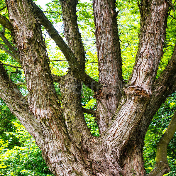 Groot groene eik park hemel boom Stockfoto © vapi