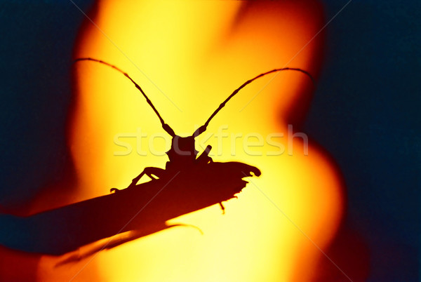Beetle Galanthus against a background of fire. Stock photo © vapi