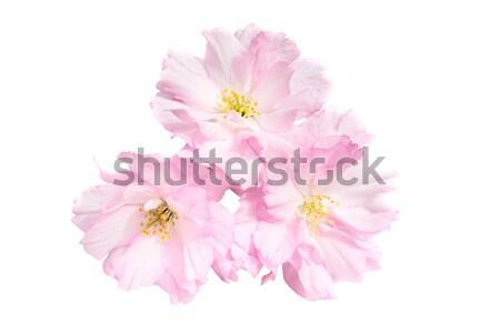 Rosa sakura fiori isolato bianco primavera Foto d'archivio © vapi
