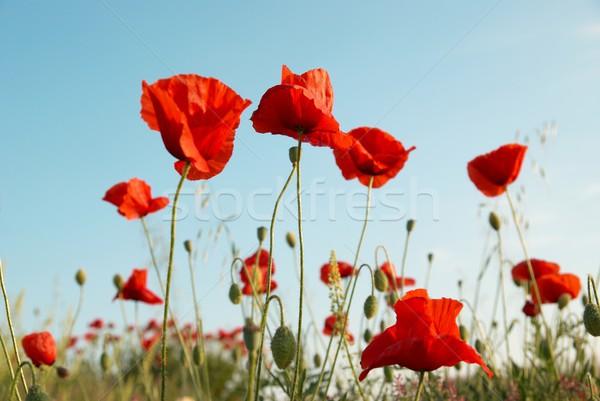Red poppies Stock photo © vapi